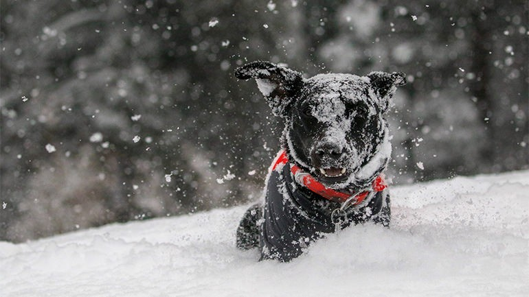 Black dog jumping through snow